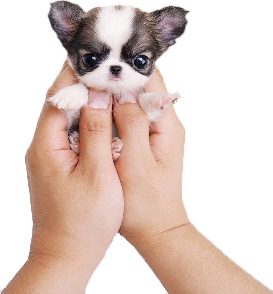 kisspng-chihuahua-siberian-husky-puppy-cat-cuteness-meng-pet-puppy-5a95051171f958-69389458151971560146691